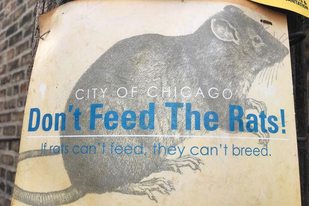 This new poster was designed to warn Chicagoans about the scourge of well-fed rats.