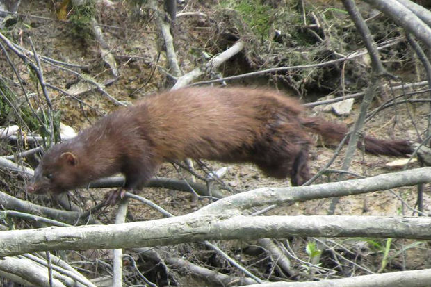An American mink spotted at LaBagh Woods.