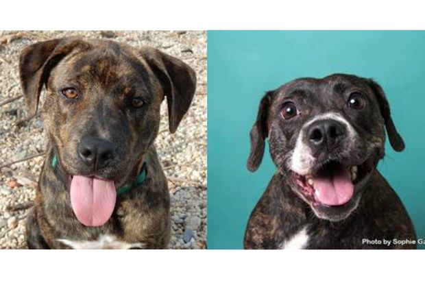 Mary, left, is a Tennessee Tree Hound mix and Gretal, right, is a pit-hound mix. Both are awaiting adoption at this weekend's Adoptapalooza event in Union Square.