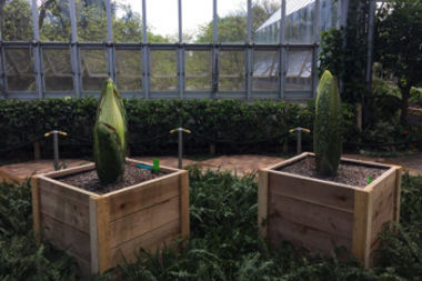 Two corpse flowers at Chicago Botanic Garden hope to put on a smelly display in the coming days and redeem the failed blooming of a corpse flower two years ago at the same locale.  The Botanic Garden's