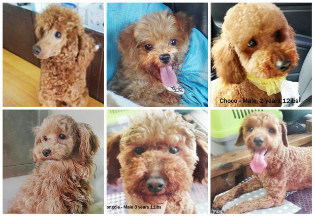 Some of the poodles available for adoption.