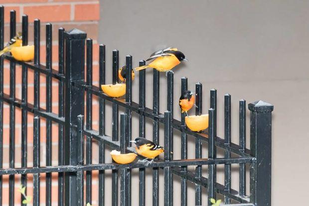 Paul Wasserman has lots of cool birds in his South Loop yard.