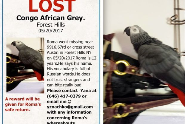 A Russian-speaking parrot has taken flight from his Forest Hills home on May 20.