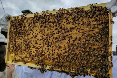 Beekeepers at Q Gardens lift beehive to check eggs of growing worker bees.