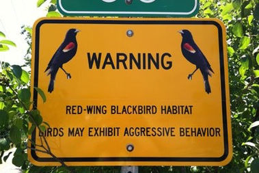 Not all areas with nesting red-winged blackbirds come with warning signs.