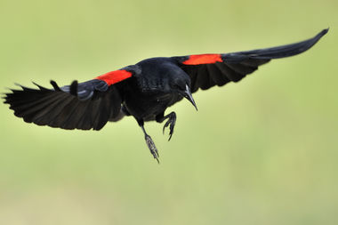 Red-winged blackbirds can be aggressive in defending their nests this time of year.