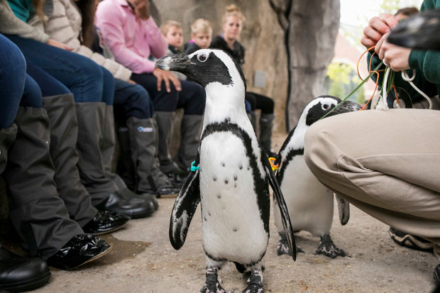 African penguins mingle with guests at the Lincoln Park Zoo's Penguin Cove.