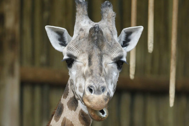 Sabrena, a 28-year-old giraffe, died Tuesday at Lincoln Park Zoo.