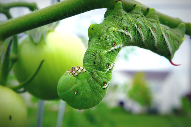 Tomato hornworms are a major garden pest, but nature has a way of getting even.