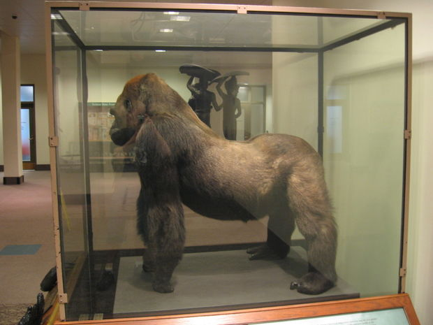 Bushman, Photography Critic | The piercing gaze of one of ...  |Bushman Gorilla Death