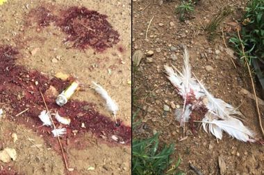 Wildlife advocate Mary Beth Artz came upon this scene of fresh blood, broken glass and feathers in Prospect Park on July 8, she told DNAinfo New York.