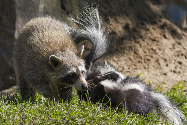 Common wildlife like skunks and raccoons are exotic zoo animals in places like the Netherlands.