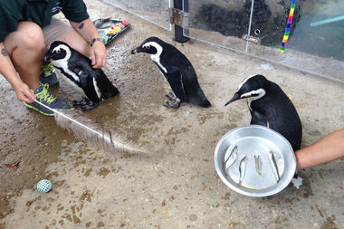 Lincoln Park Zoo's Penguin Encounters lets visitors get up close to the flightless birds