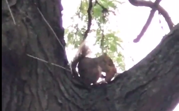 This squirrel eats pizza while sitting in a Logan Square tree. The image was captured by Paul Biasco of Quiote.