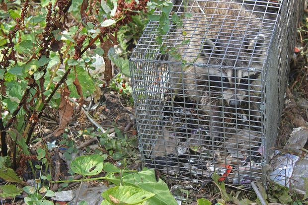 Neighbors are using traps to capture raccoons on the 8500 block of South Saginaw Avenue.