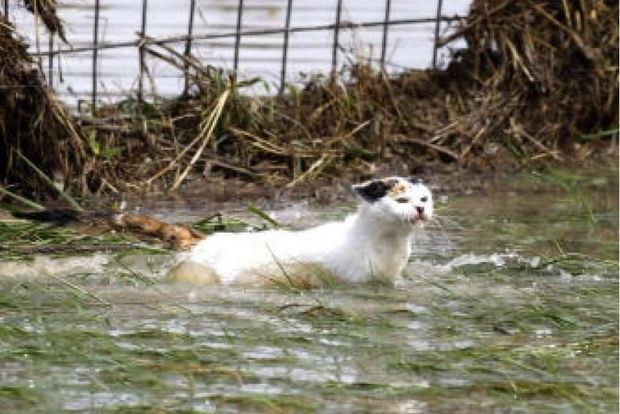 A cat wading through flood waters.