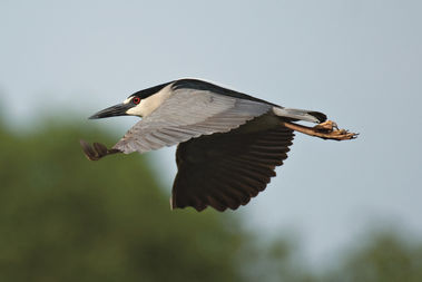 Numbers of black-crowned night herons are once again on the rise in and around Lincoln Park Zoo.