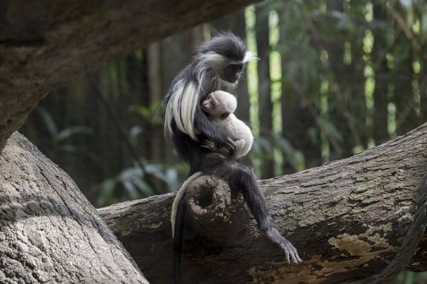 The Angolan colobus monkey is now on display at the Bronx Zoo.