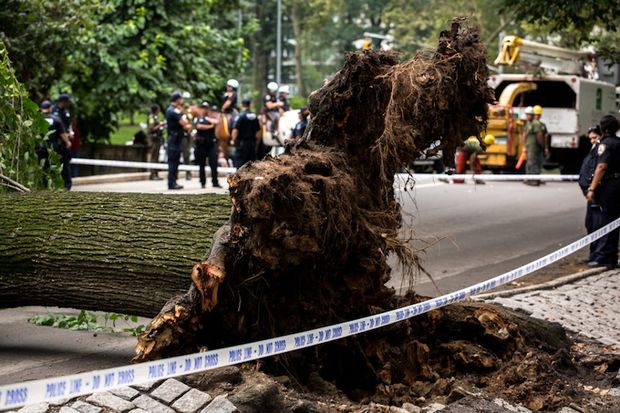The tree that fell and struck Anne Monoky and her children in Central Park last month.