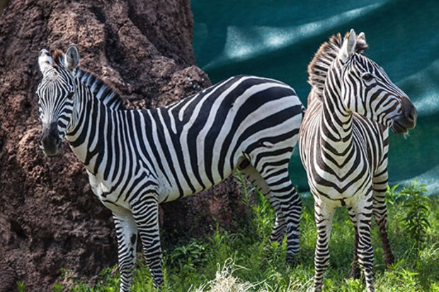 Plains zebras are distinguished, in part, by their black noses.